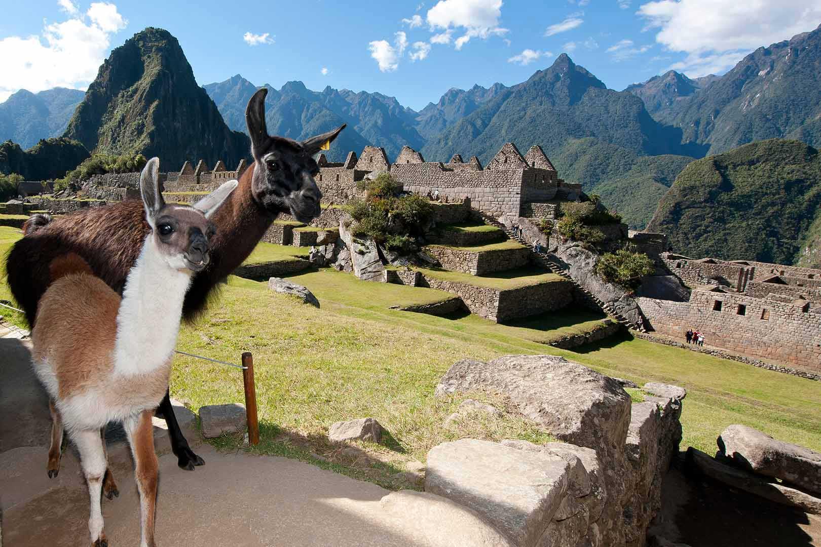 Llamas-en-Machupicchu